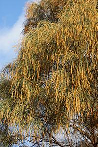 Allocasuarina verticillata – Geelong Native Plants