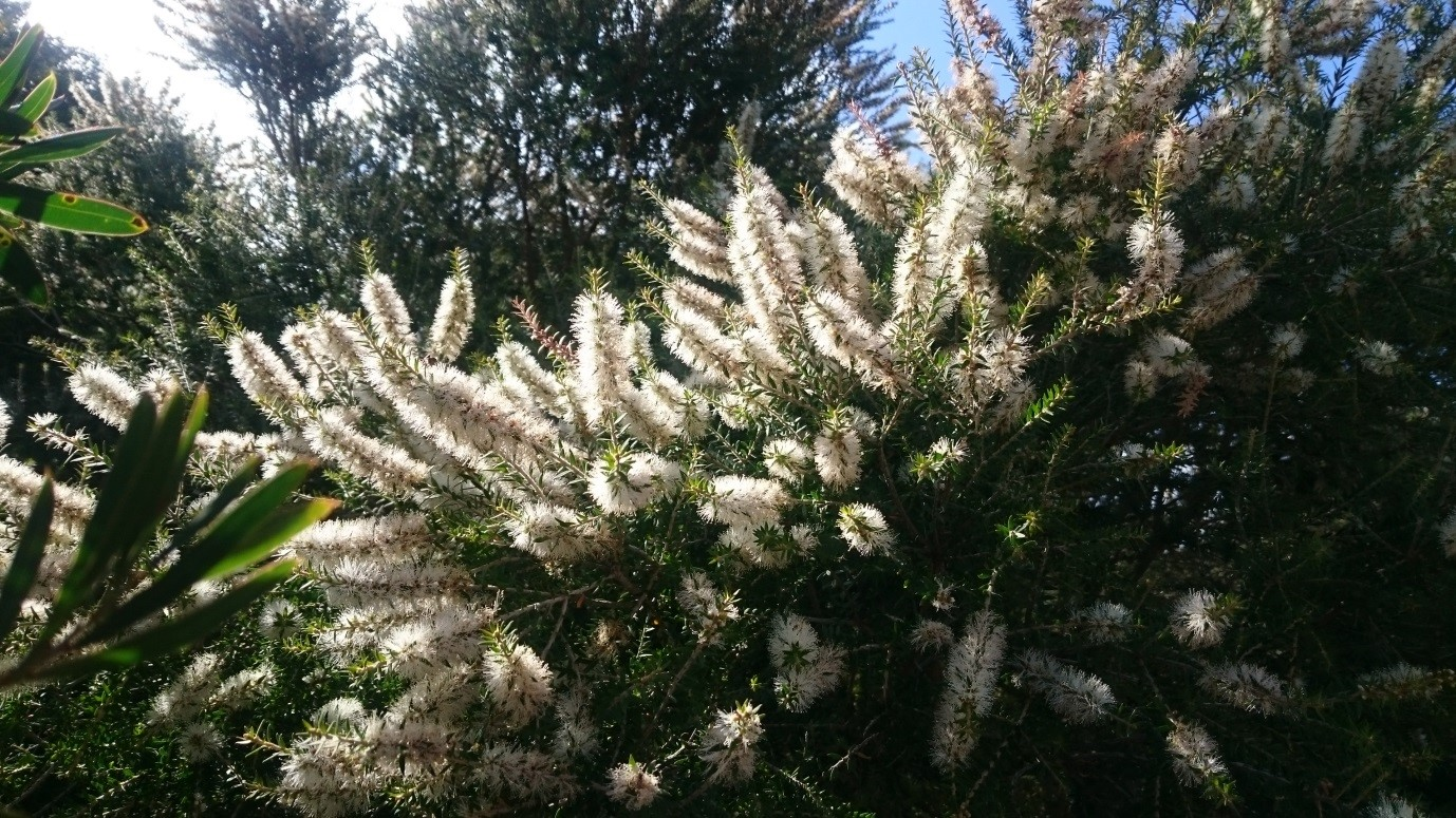 Bees love the Moonah Tree in full flower